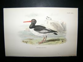 Allen 1890's Antique Bird Print. Oyster-Catcher